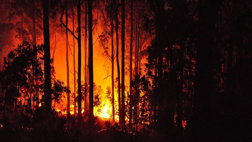 Eucalyptus tree forest fire