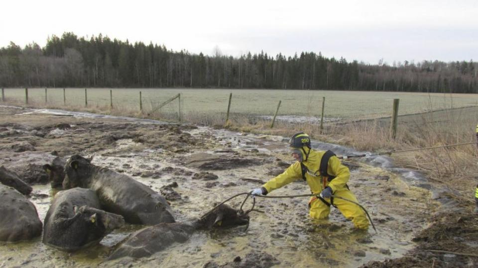 A firefighter in a protective suit and safety belt saves cows in the dung pit. Photo: Ljungby Rescue Service / TT